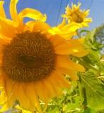 Nature's Sunflowers