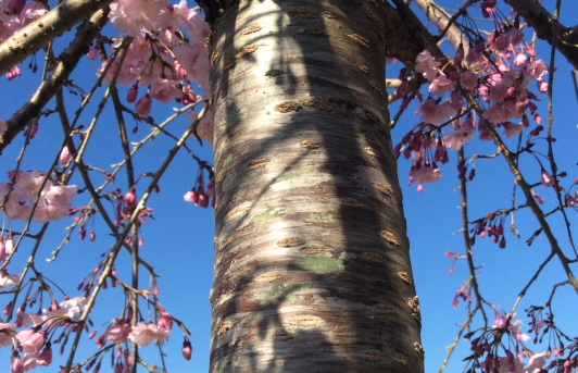 Weeping Cherry Trunk