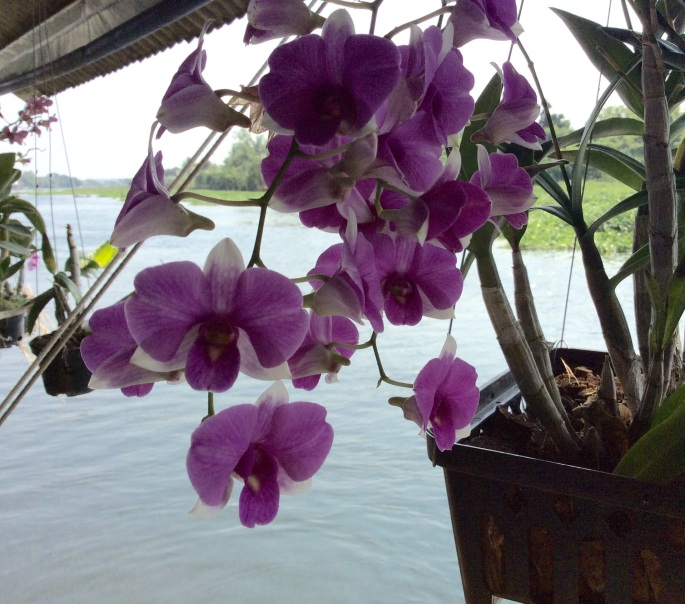 Lavender Orchids on the River