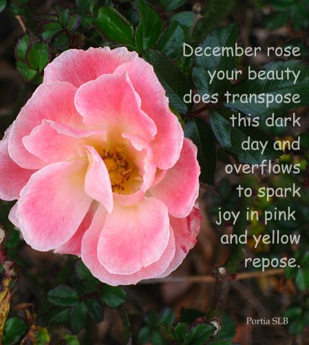 December Rose in repose