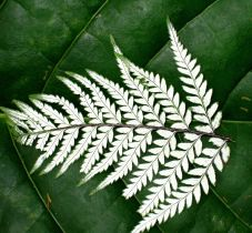 Jungle Fern on Leaf refined