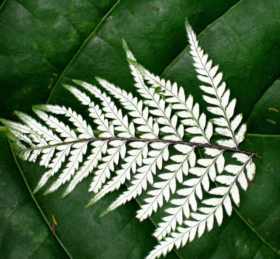 Jungle Fern on Leaf refined