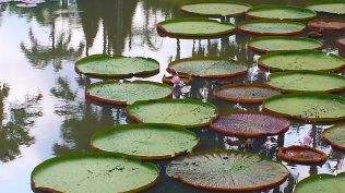 lilly pads refined