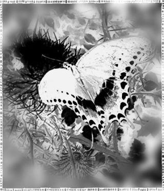 buttefly monochrome